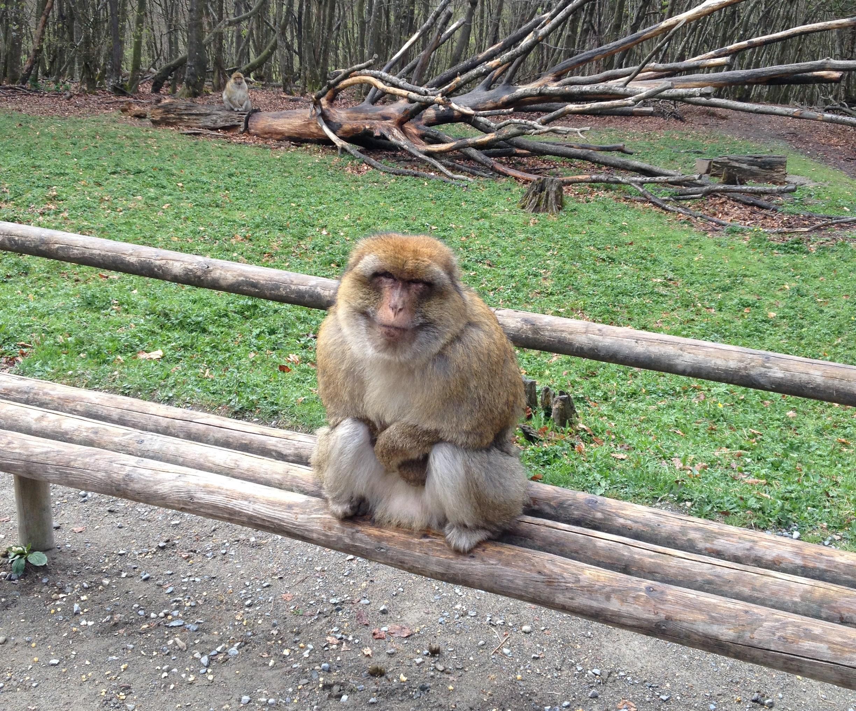 Salem Monkey