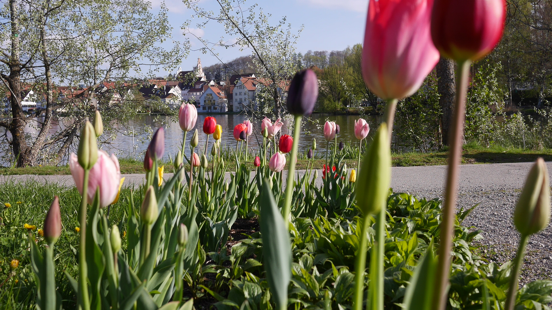 Stadt See Tulips