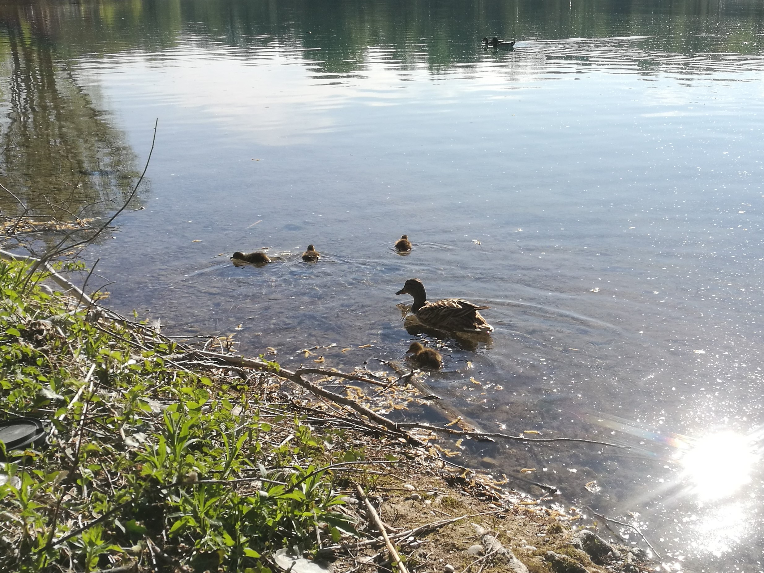 Mother duck with ducklings.